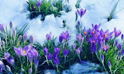 Spring flowers budding through thawing snow.